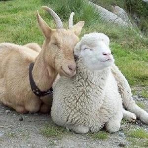 Brebis et chèvre